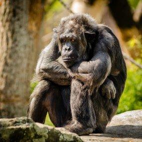 chimapanzee