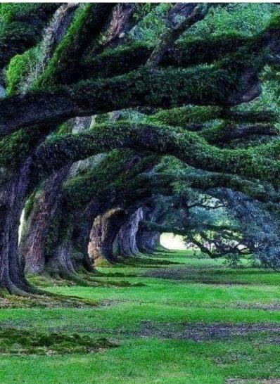 300 yrs old oak trees-Plantation Oak Valley