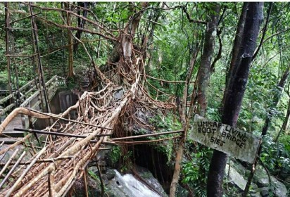 JPG-Umkar Living Bridge-Pic By S Bordoloi